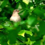 Nightingales in Berlin